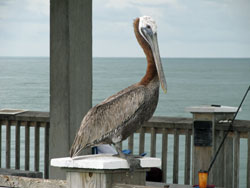 Pelican perched on the Pier at Clearwater Beach