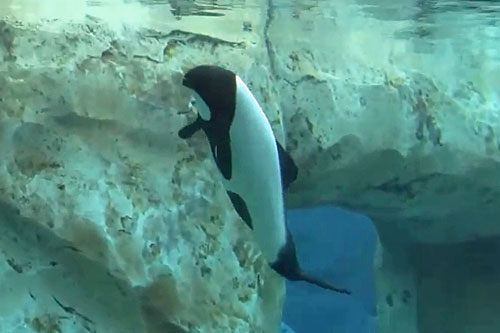 View of a Commerson's Dolphins from Dolphin's Plunge